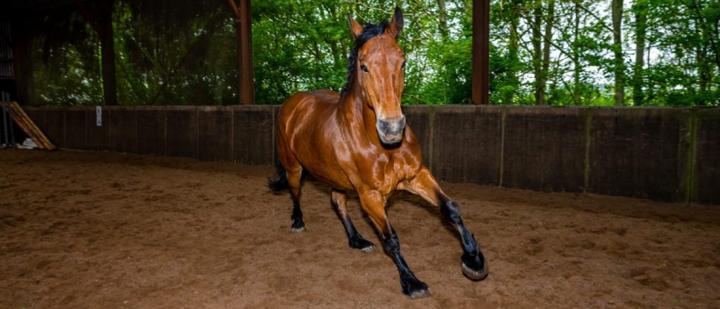 afgezaldeld Paard Hummer rent los door de bak